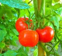Pomidorų ligos