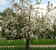 Obelų veislės