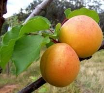 Abrikosų ir persikų auginimas