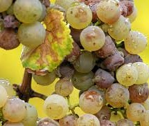 Vynuogių ligos ir kenkėjai