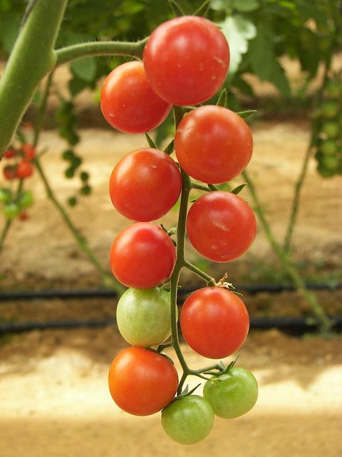 pomidoru1