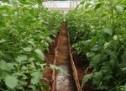 Kaip auginti daržoves šiltnamyje?
