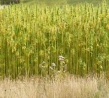 Pluoštiniai augalai