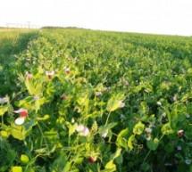 Žirnių auginimas