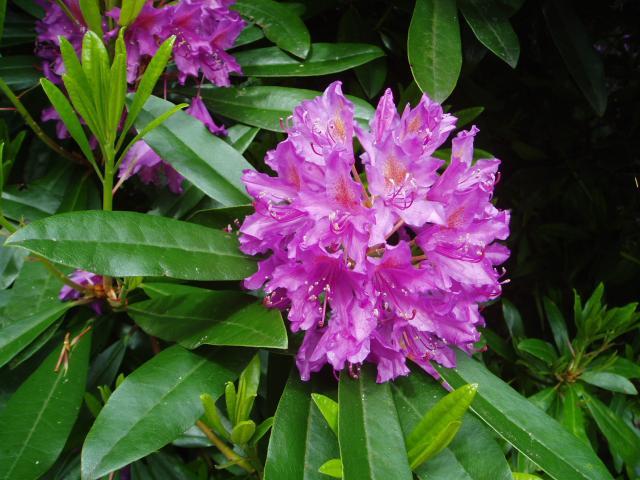 Rododendrai
