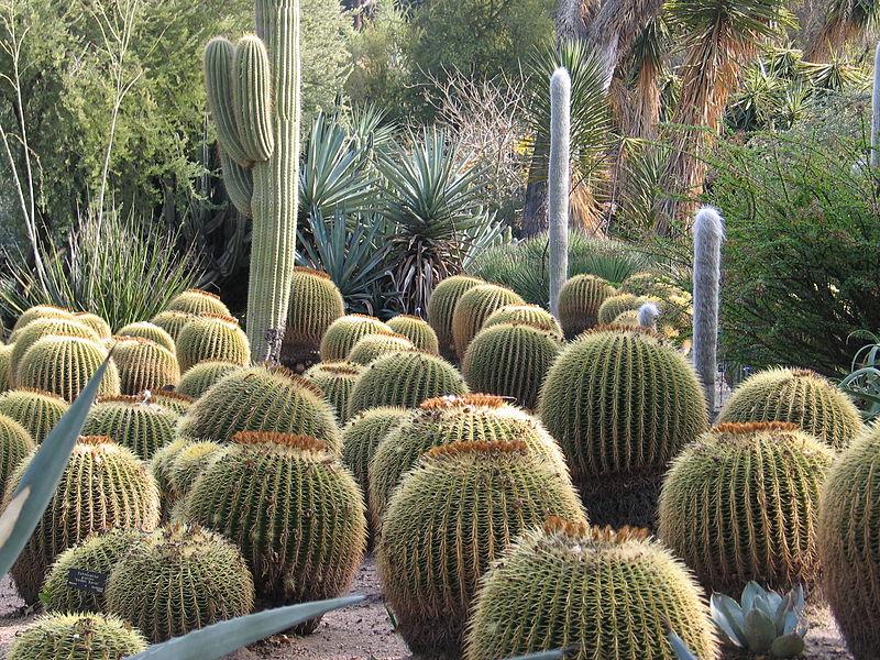 Kaktusų auginimas