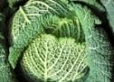 Kopūstų auginimas