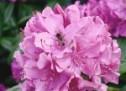 Rododendrų tręšimas