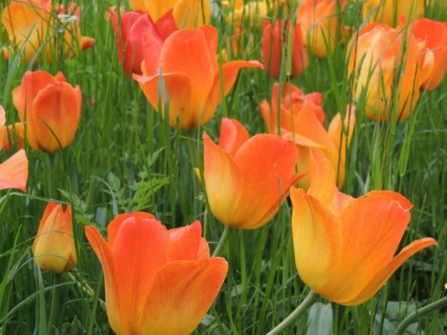 Išbandykite ir kitas tulpių spalvas