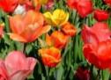 Tulpių auginimas