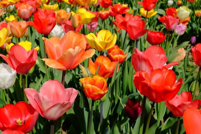 Bene populiariausios - raudonos tulpės