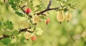 Serbentų ir agrastų auginimas