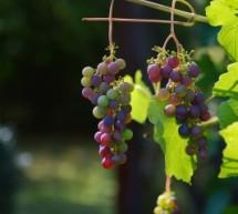 Kaip auginti vynuoges savo sode?