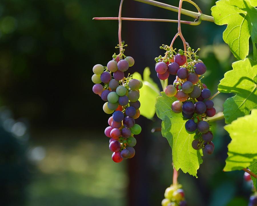 Vynuogių auginimas Lietuvoje
